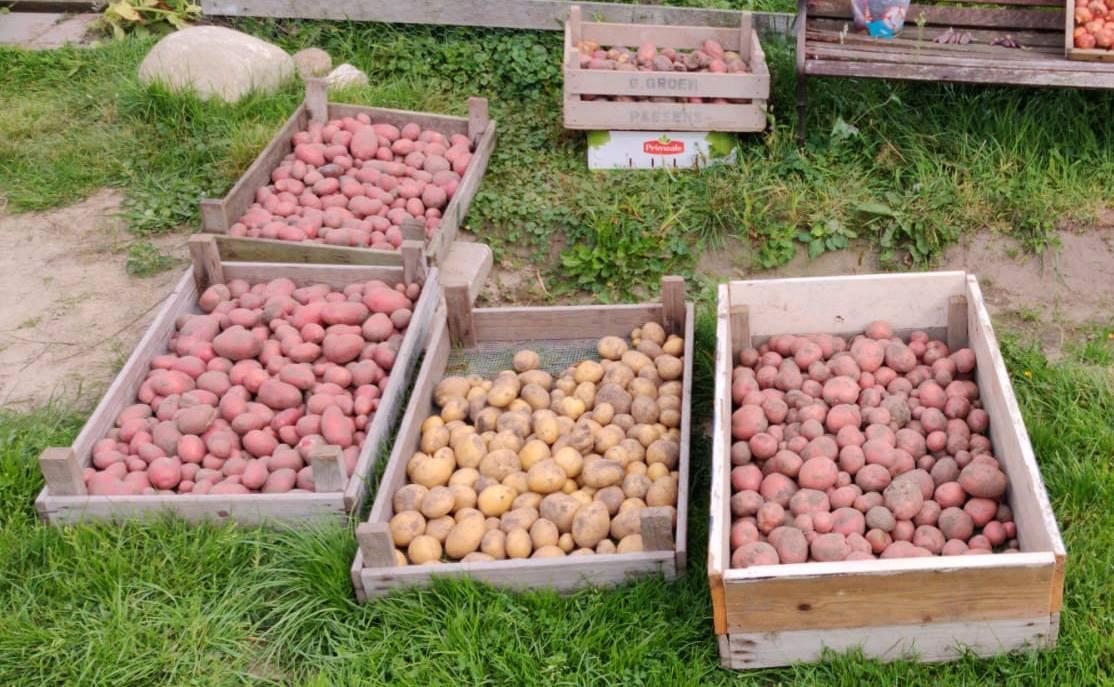 In de moestuin: aardappels rooien